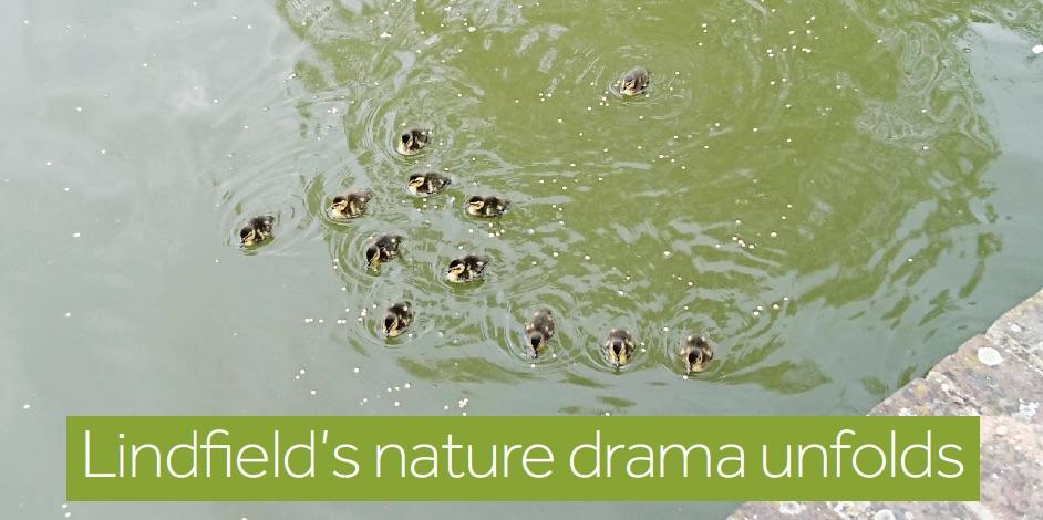 Lindfield-12-ducklings.jpg
