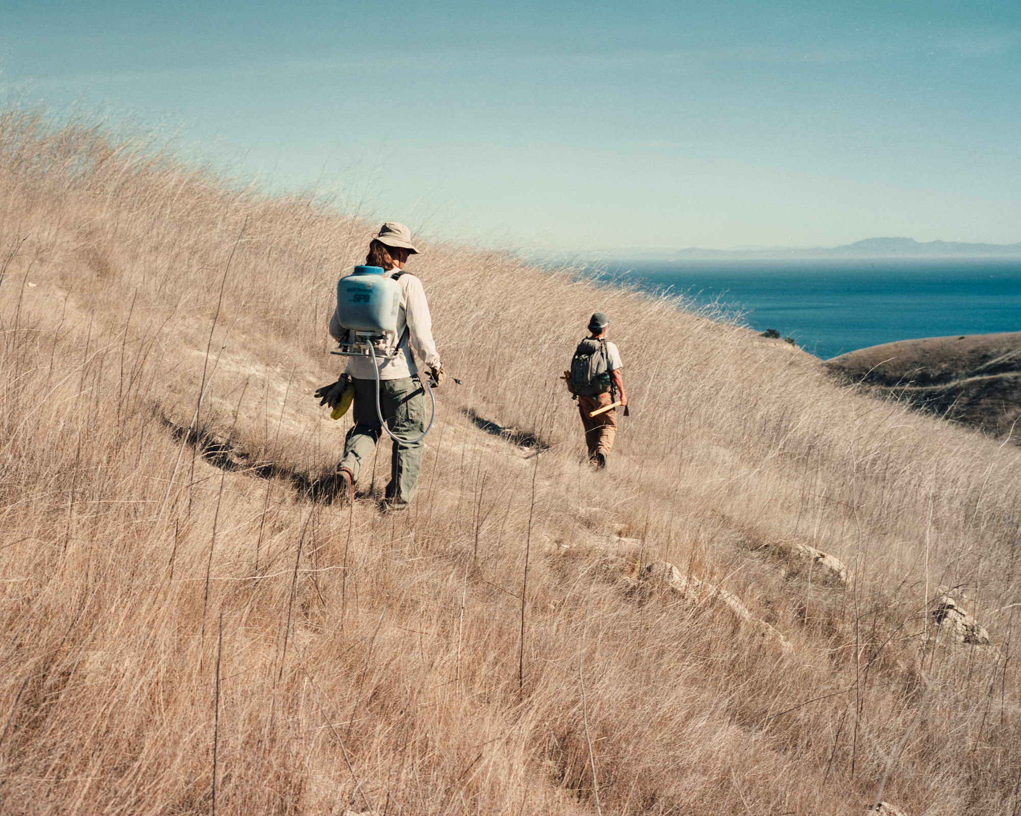 Restoration Biologists, Jim and Clark, attempt to remove invasive species of plants from Santa Cruz Island, CA   Invasive Species
