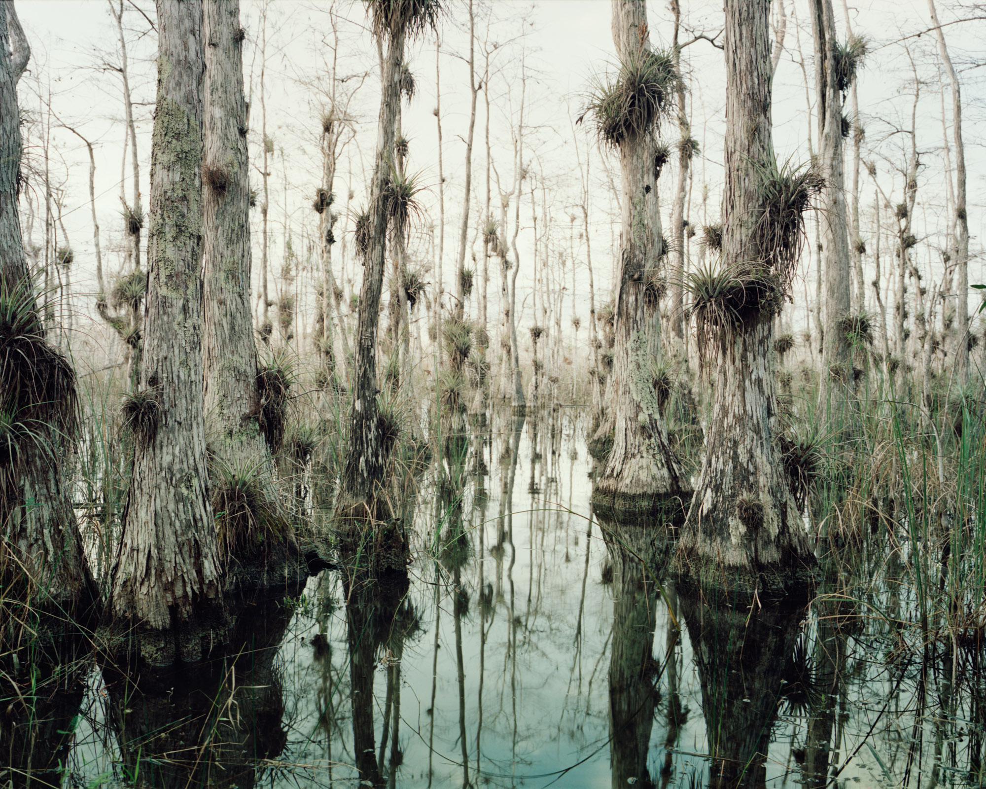 31_Oasis Trail trees, Big Cypress, Forida-.jpg