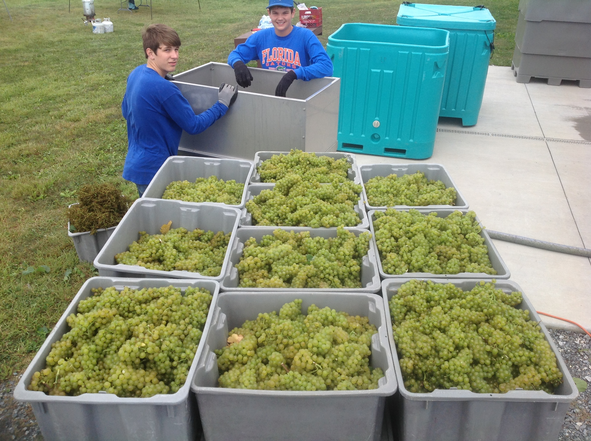 harvest grapes.JPG