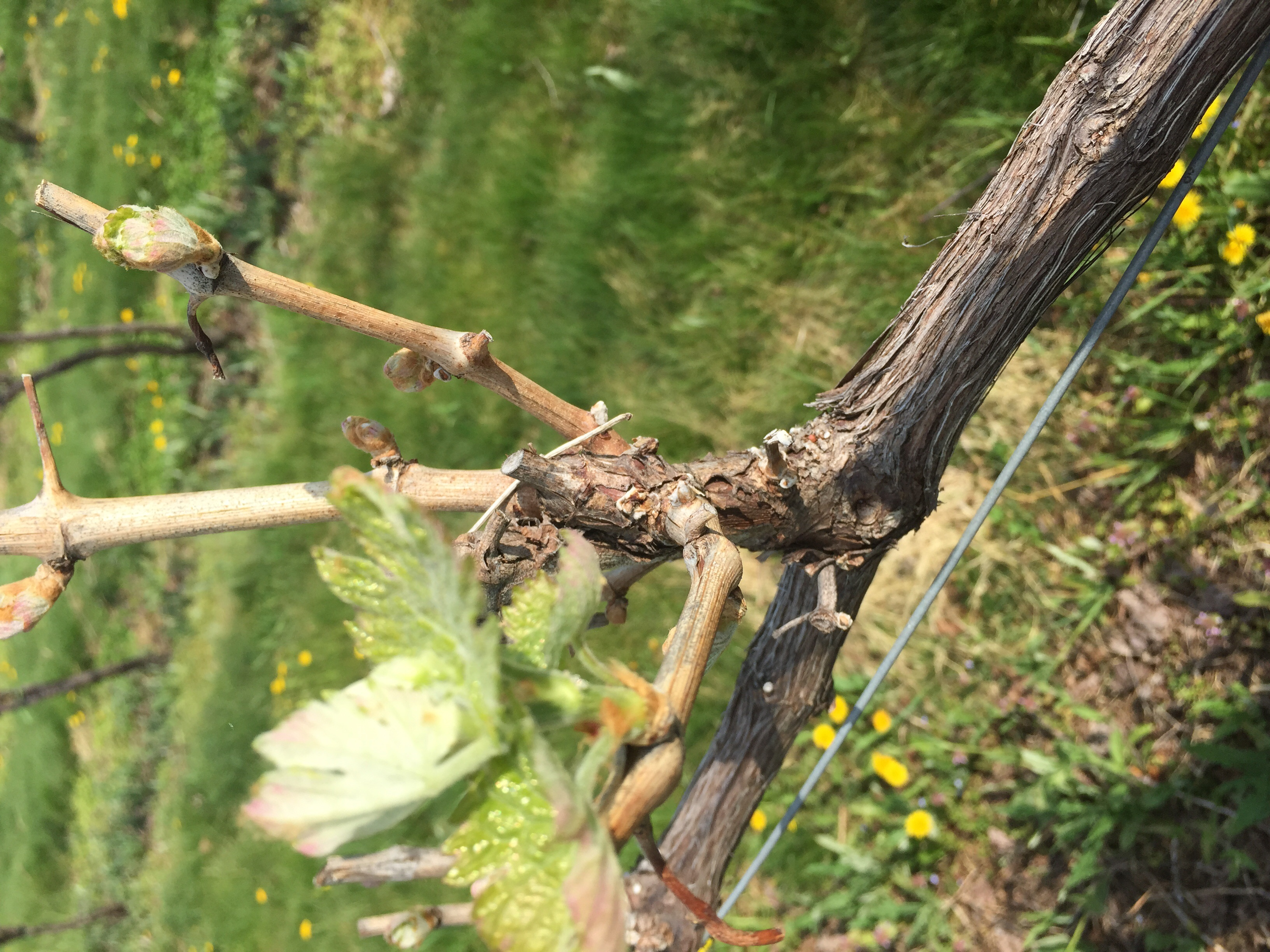 Cab Franc bud break May 2