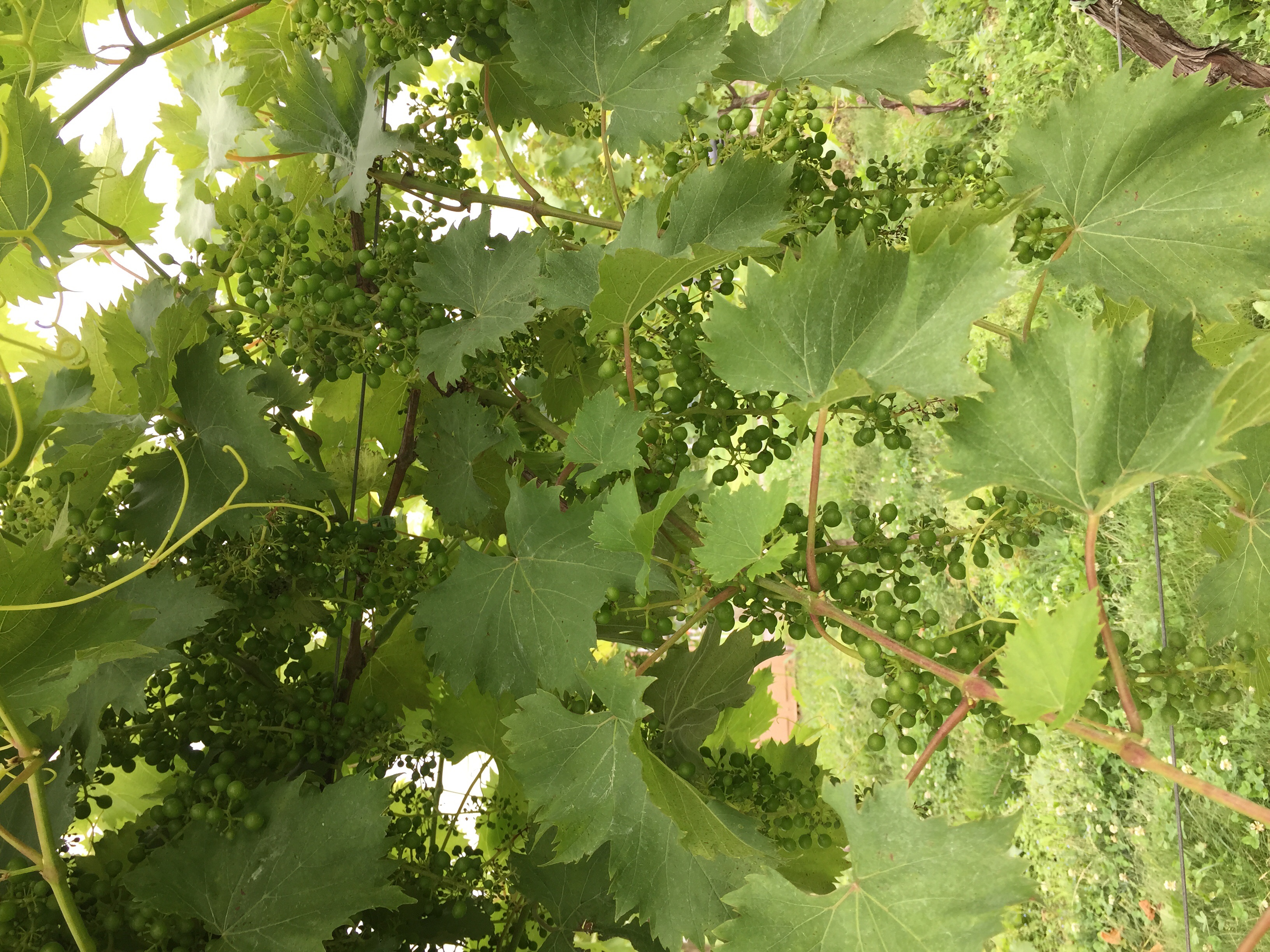 Chambourcin fruit after setting but before we have begun to thin. Looks like a great crop!