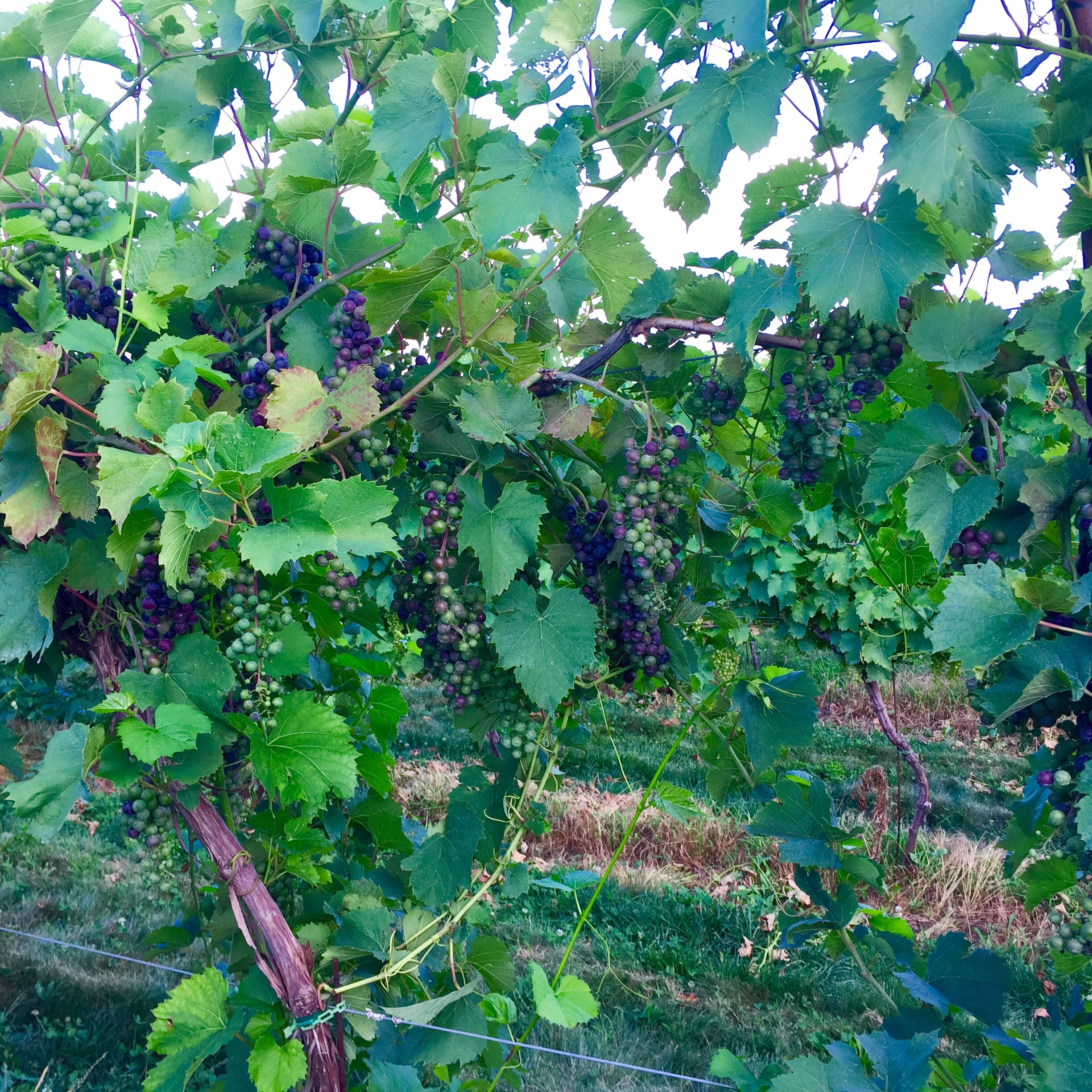 Chambourcin grapes changing from green to purple