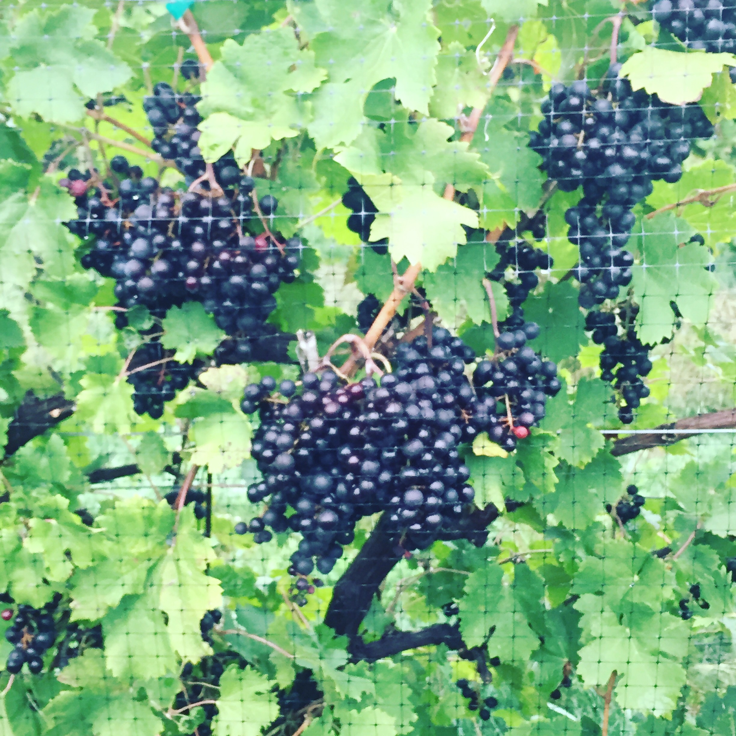 This week it is our Final Harvest of these Chambourcin Grapes!
