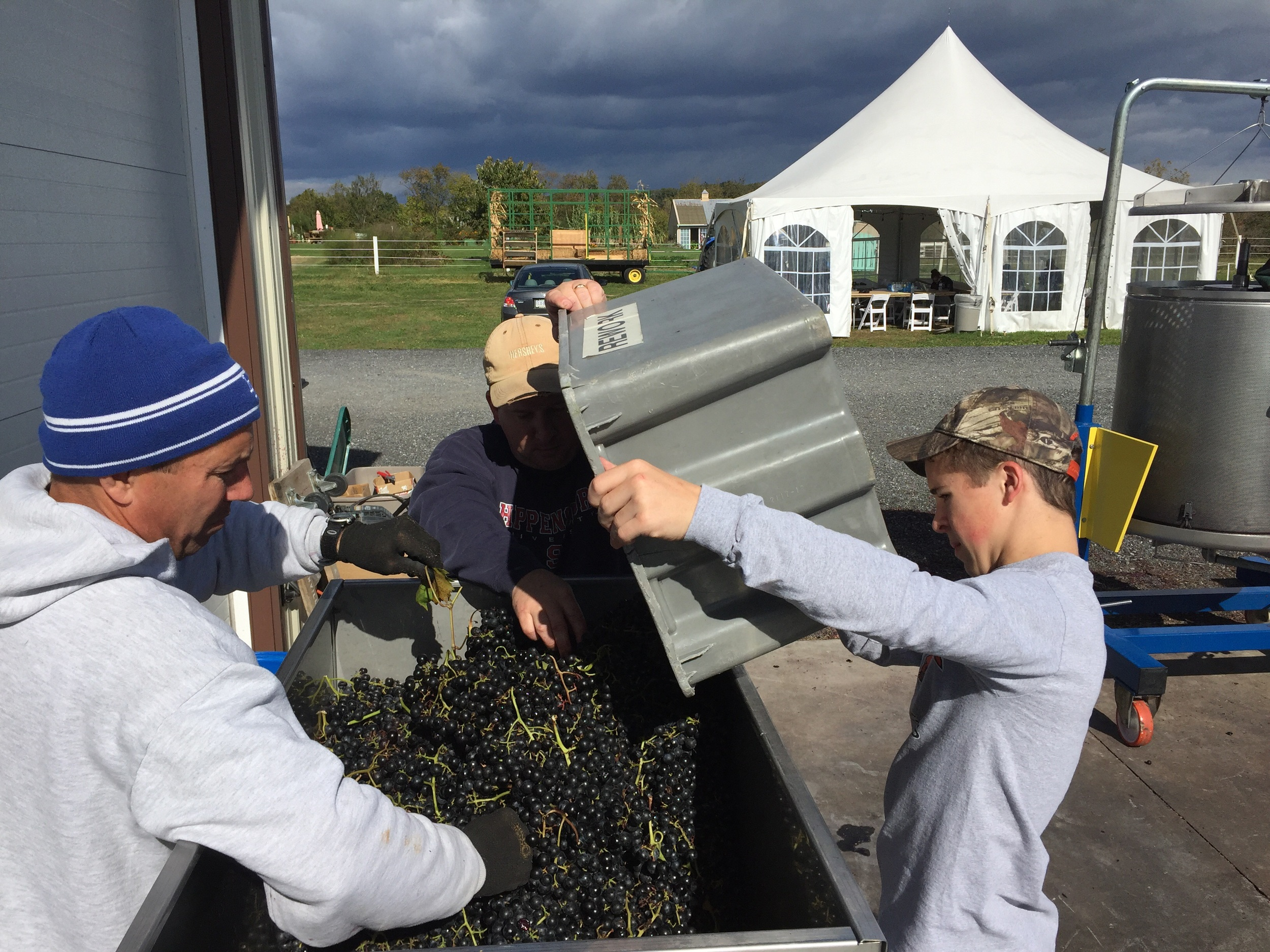 This is a more tangeable measurement of the fruit of our labors. The final tub of the Chambourcin dumped into the crusher/destemmer. That makes 31 tons of our own grapes for us all to enjoy!