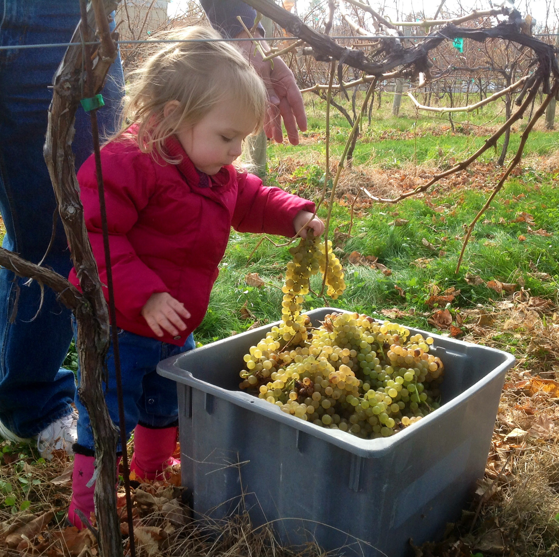 Lilly picking the grapes for our first Late Harvest Vidal
