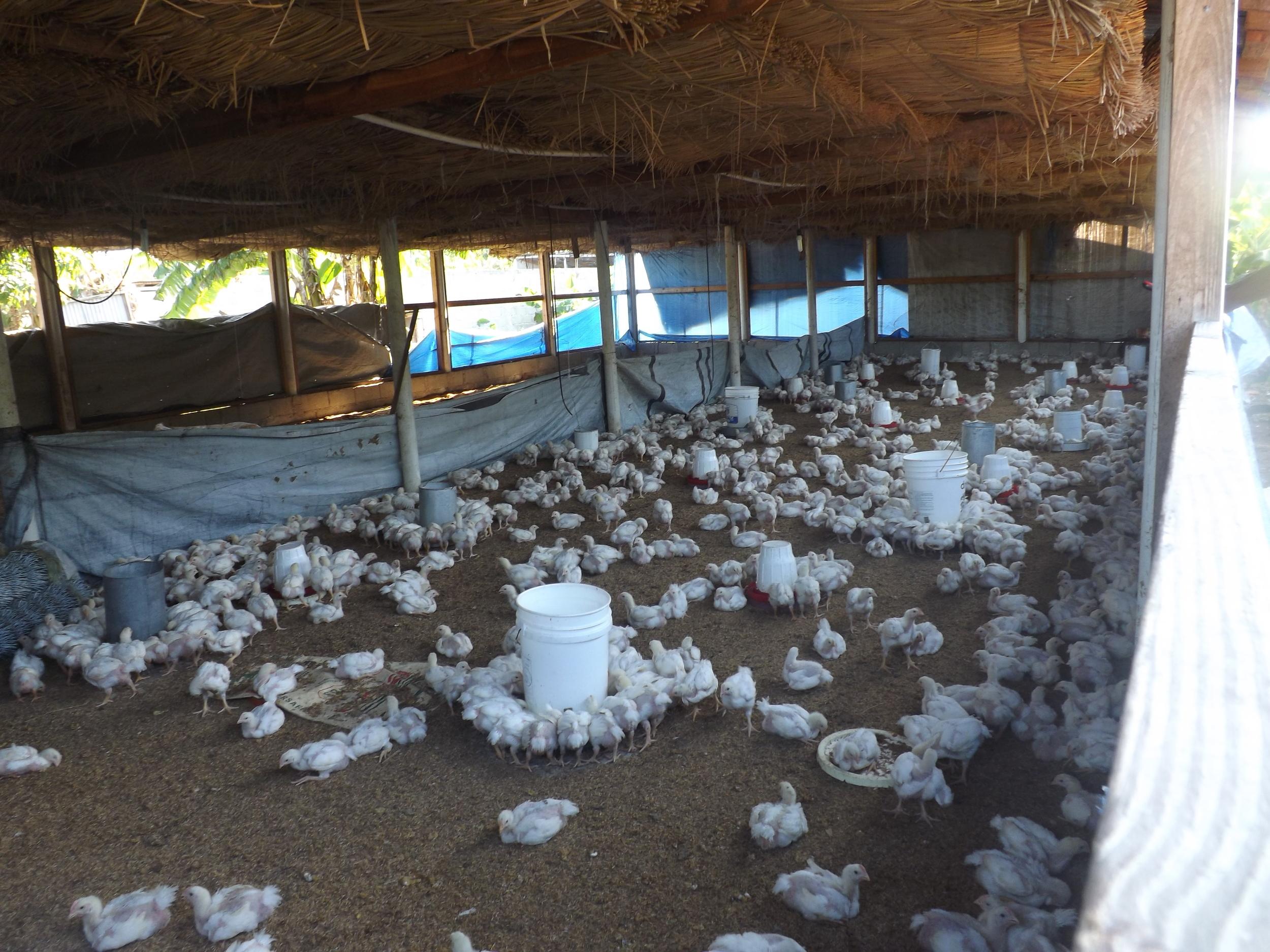 sapen- poulets 4.jpg
