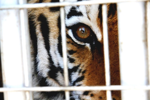 caged tiger.jpg
