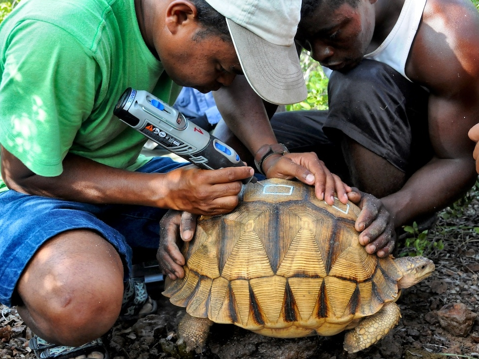 Defacing tortoises in the wild and in captivity to help deter poaching.