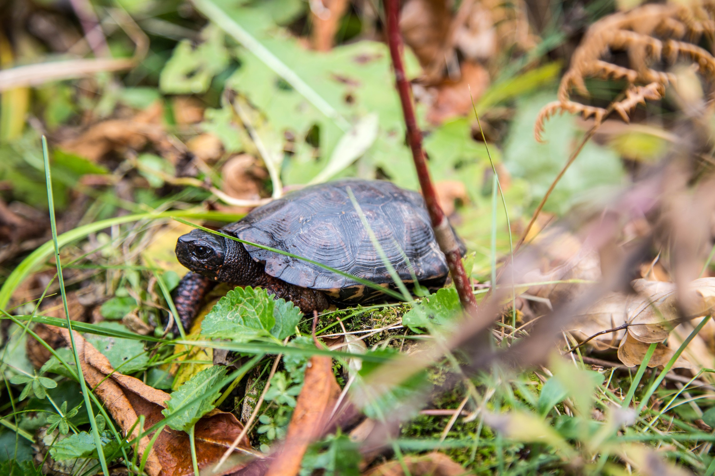 A Bog Turtle in its habitat