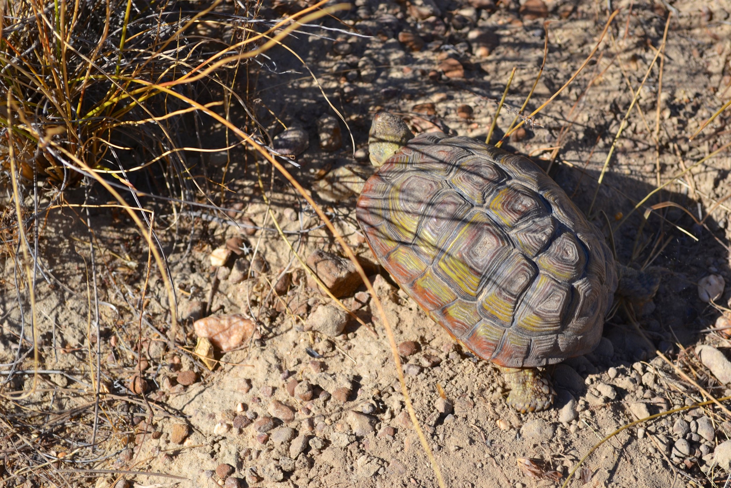 Parrot-beaked Tortoise