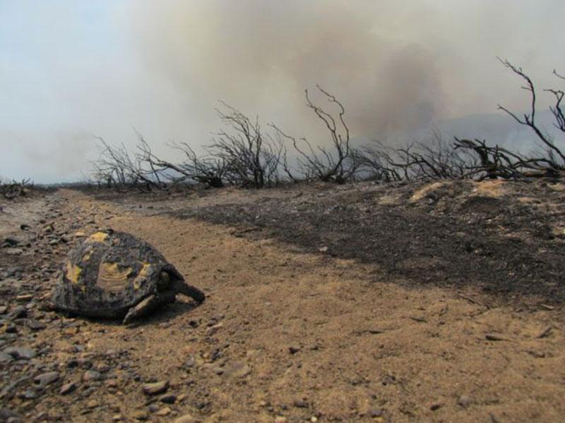bush-fire-burnt-tortoise.jpg
