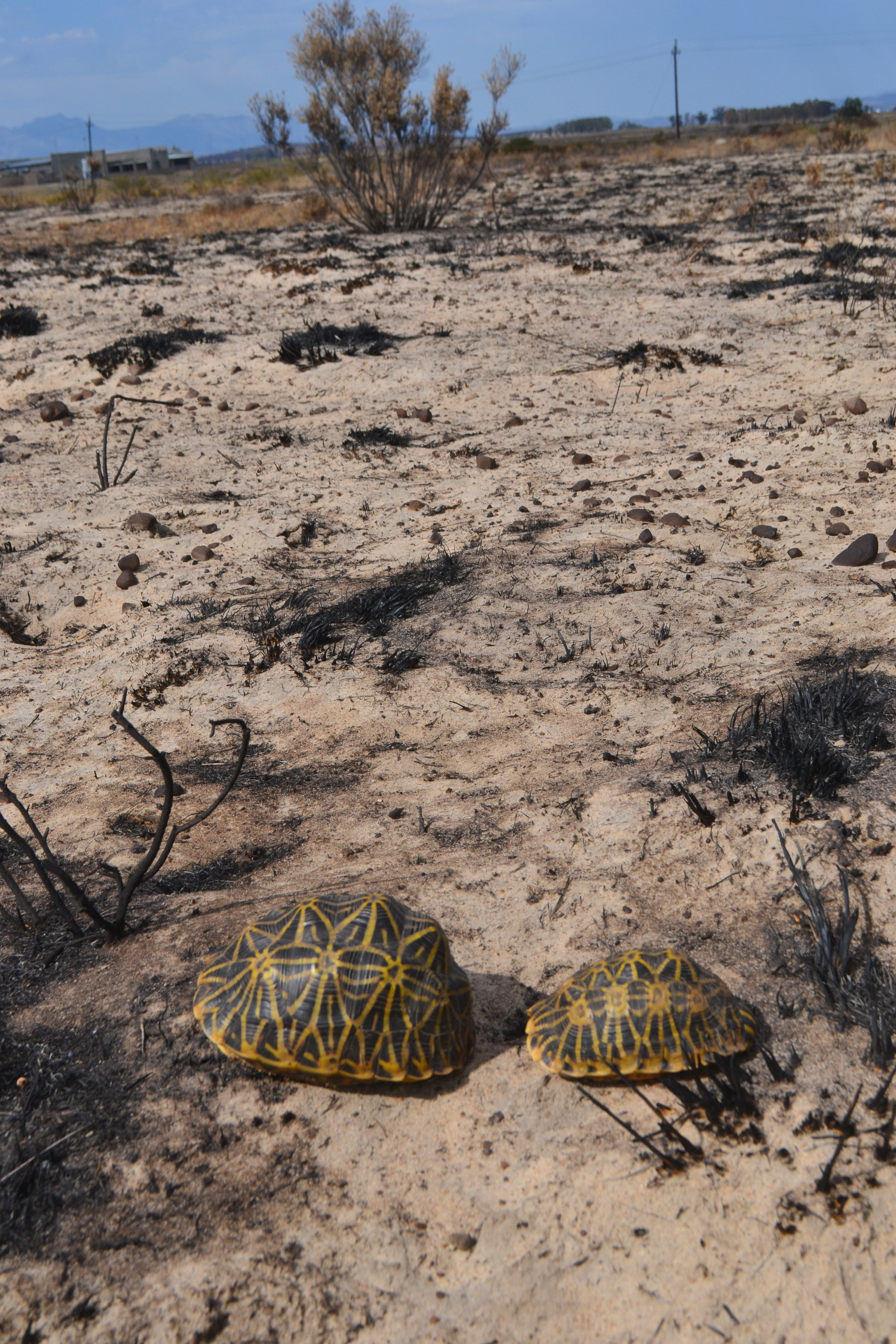 Tortoise survivors on burn in courtship 6 day after fire!