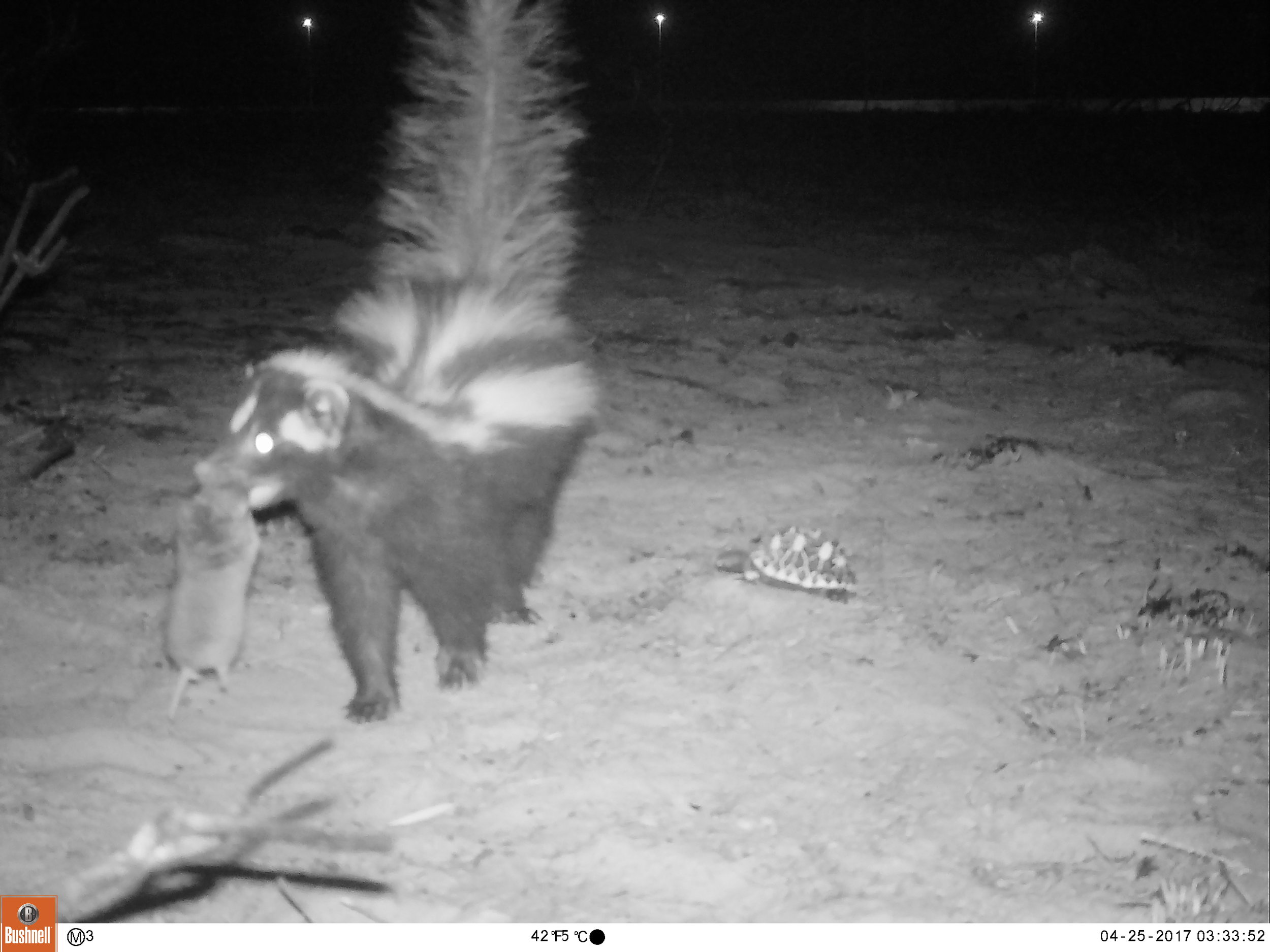 Camera trap photo: Zorilla Weasel with a mouth full (Cape Gerbil) ignoring the Geometric Tortoise decoy.