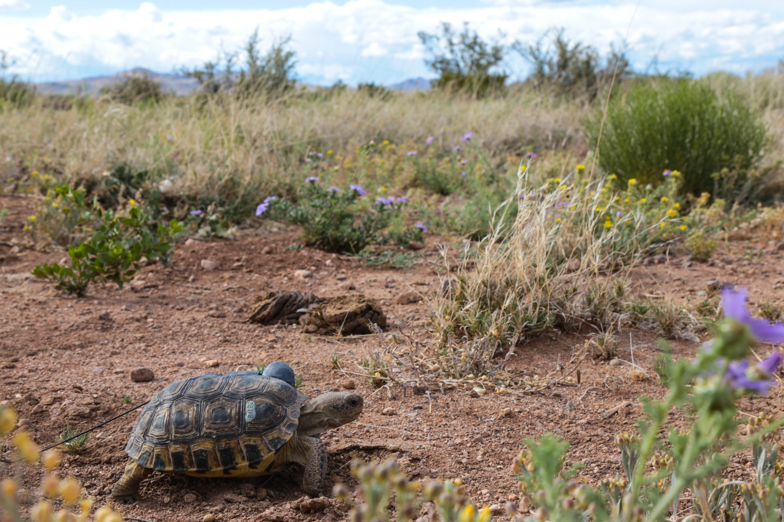 Bolson Tortoise with radio tracking device on the Ladder Ranch in New Mexico