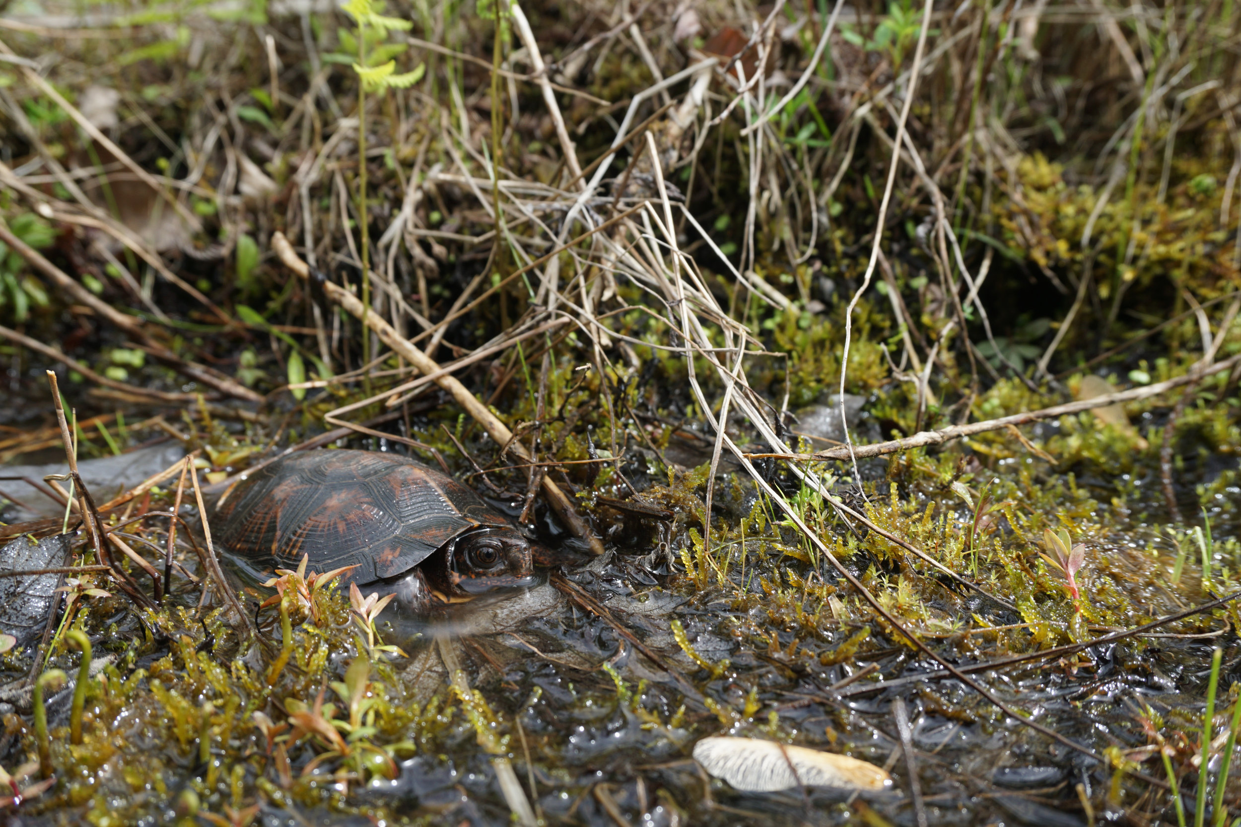 Bog Turtle Hiding in the Moss