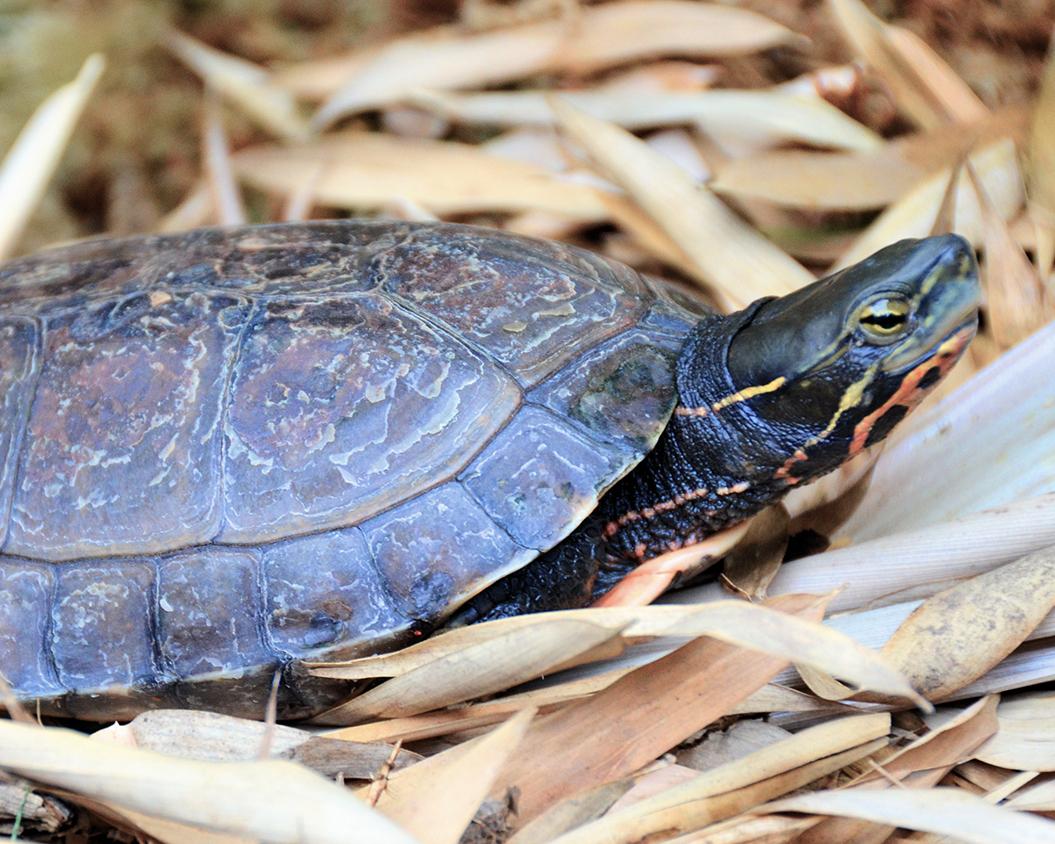 3 Yunnan Box Turtle.jpg