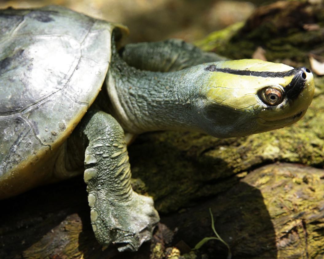 5 Myanmar Roofed Turtle.jpg