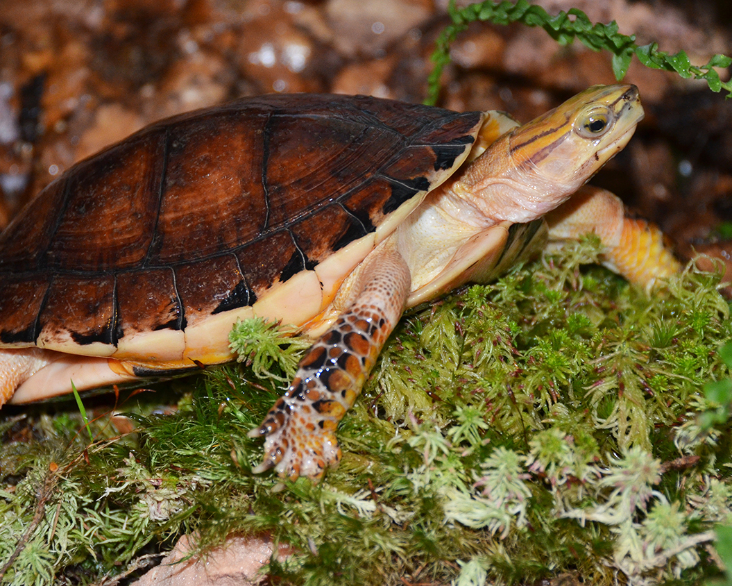 7 McCord's Box Turtle.jpg