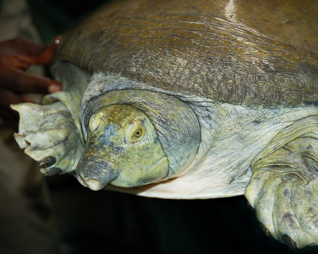 11 Nubian Flapshell Turtle.jpg