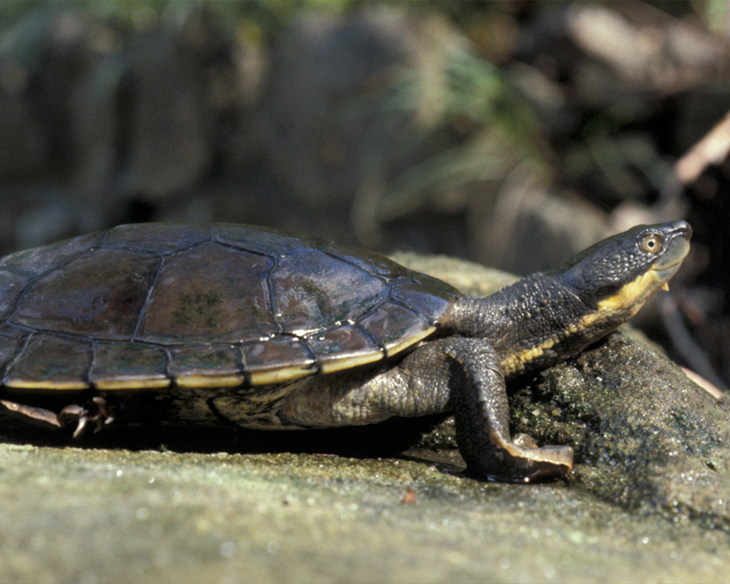 16 Bellinger River Snapping Turtle.jpg
