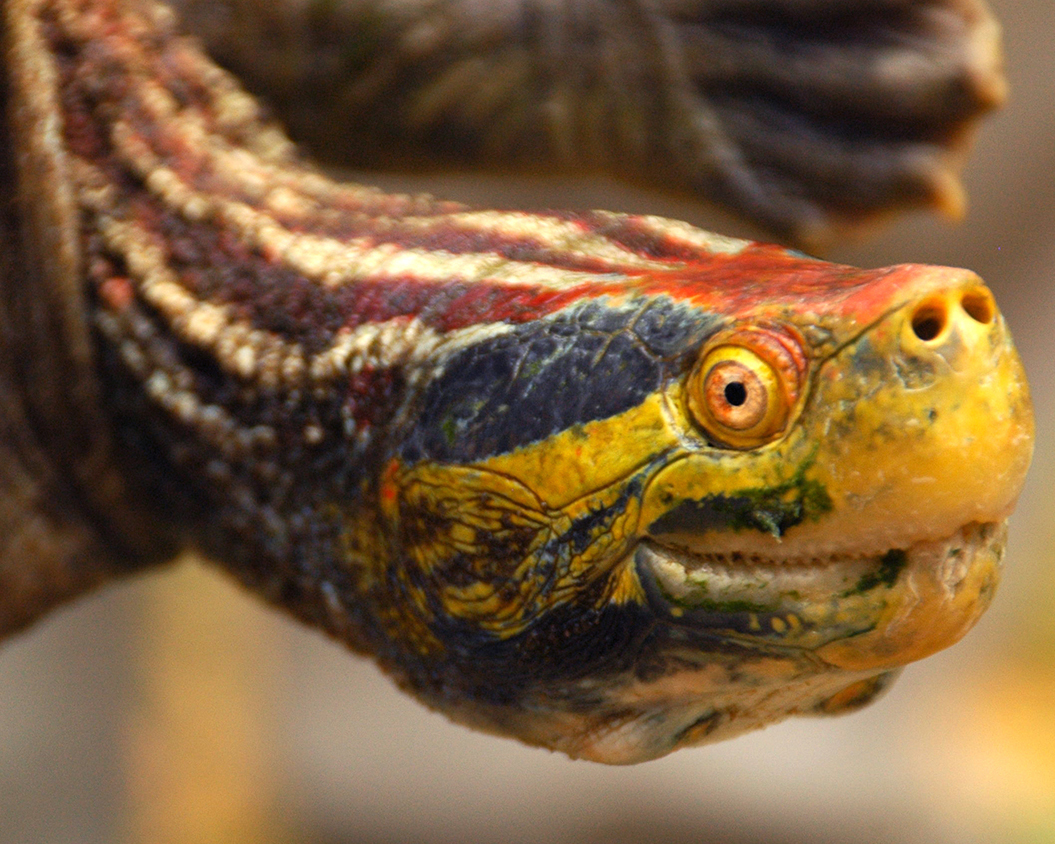 21 Red-Crowned Roof Turtle.jpg