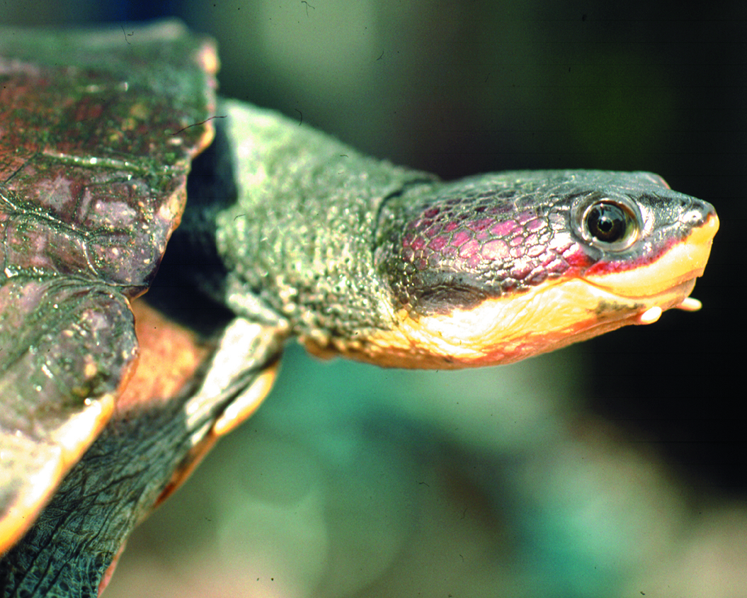 24 Hoge's Side-Necked Turtle.jpg