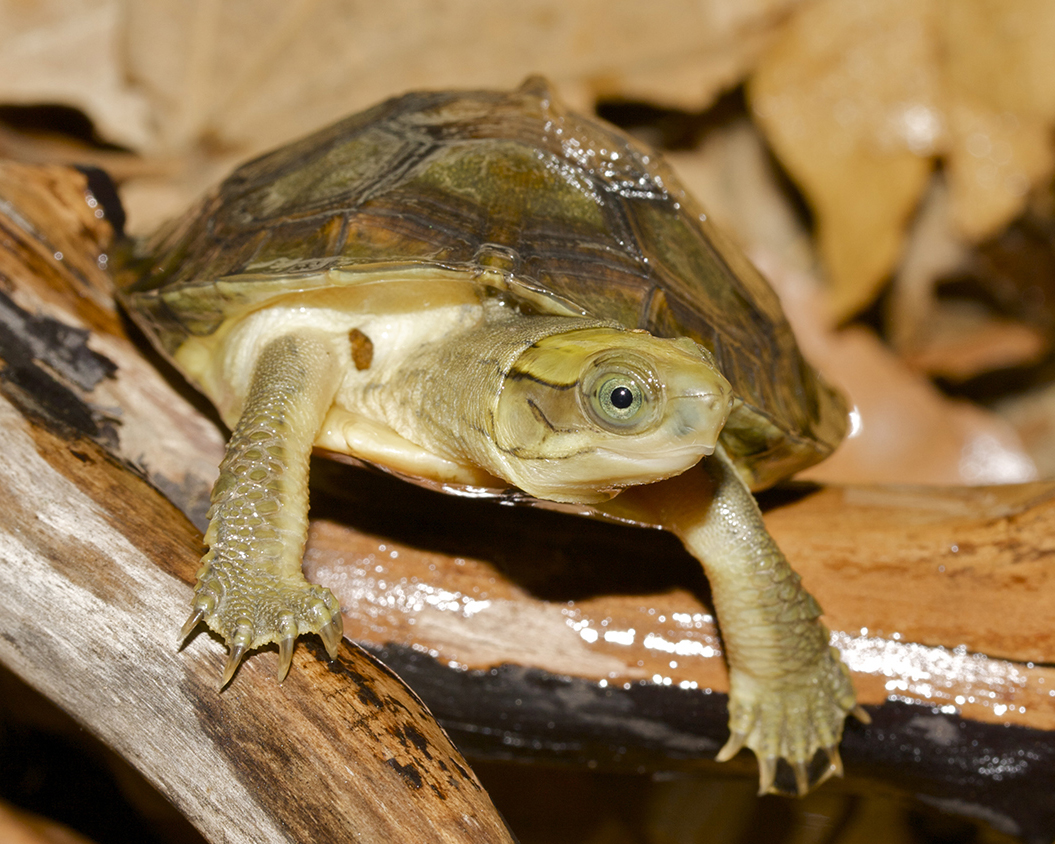 29 Pan's Box Turtle.jpg
