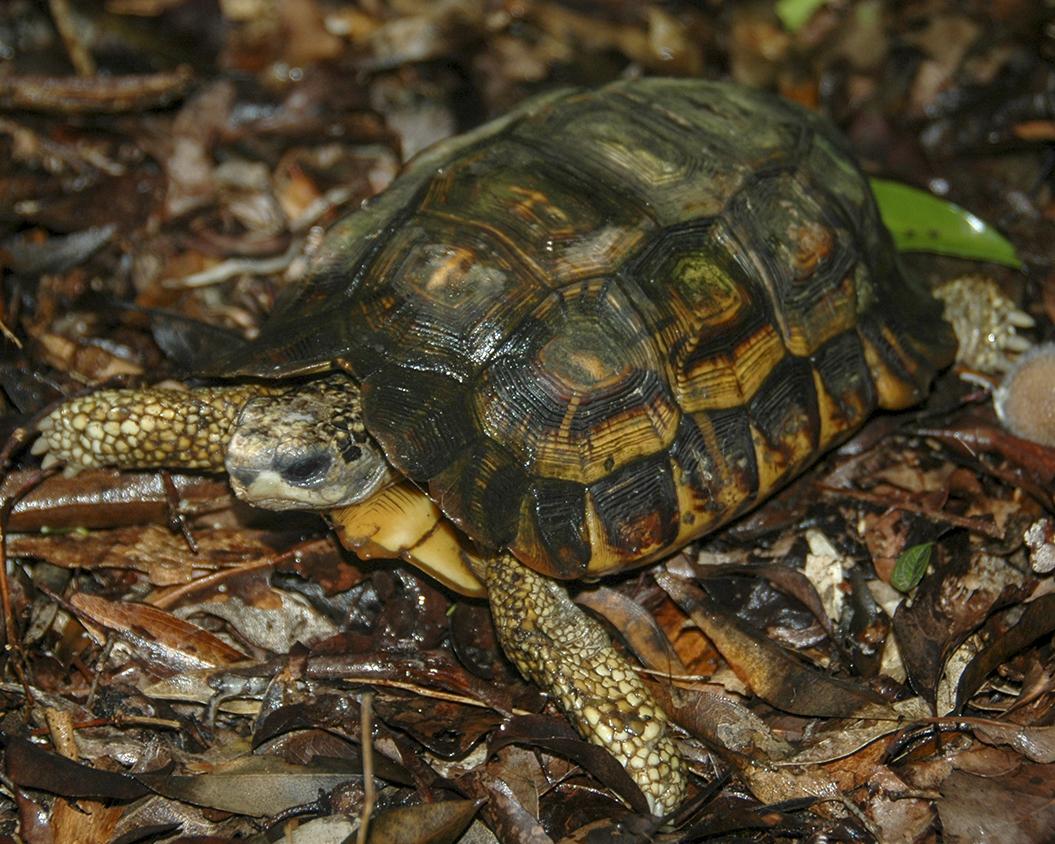 Flat-tailed Tortoise - Pyxis planicauda.