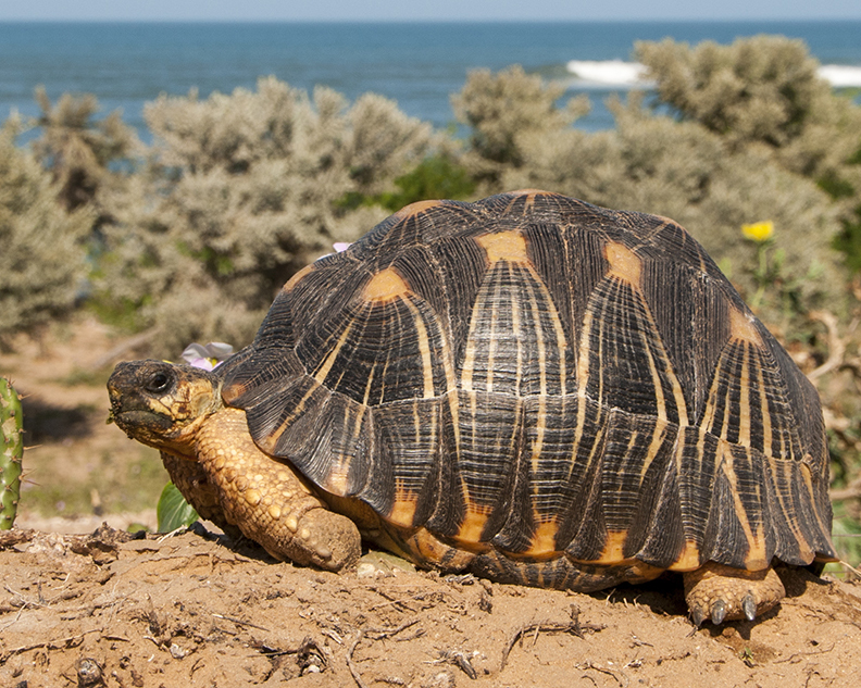Radiated tortoise on the coast in Lavanono
