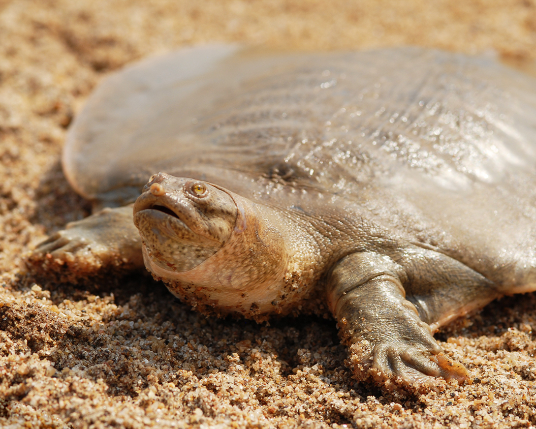 47 Asian Giant Softshell Turtle.jpg