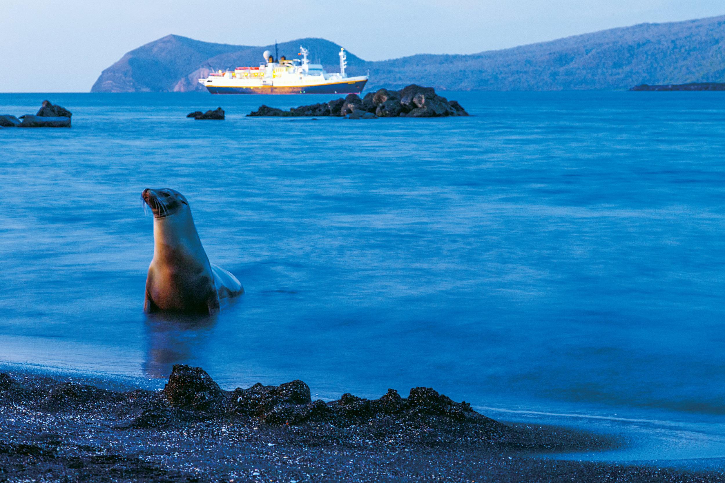 Galapagos Sea Lion (Zalophus wollebaeki), National Geographic Endeavour, Puerto Egas, Santiago Island, Galapagos Islands National Park, Ecuador
