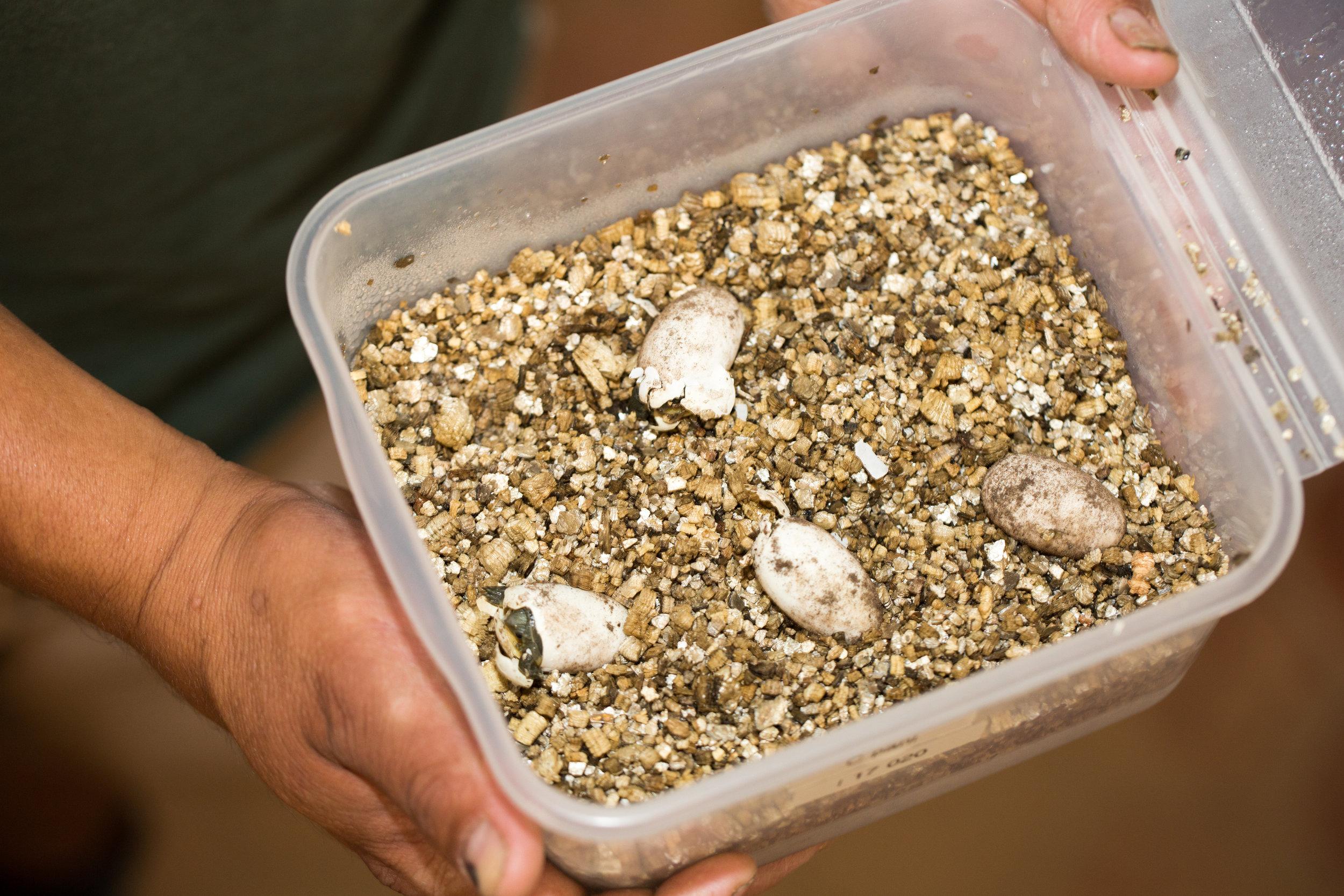Pan's Box Turtles Hatching
