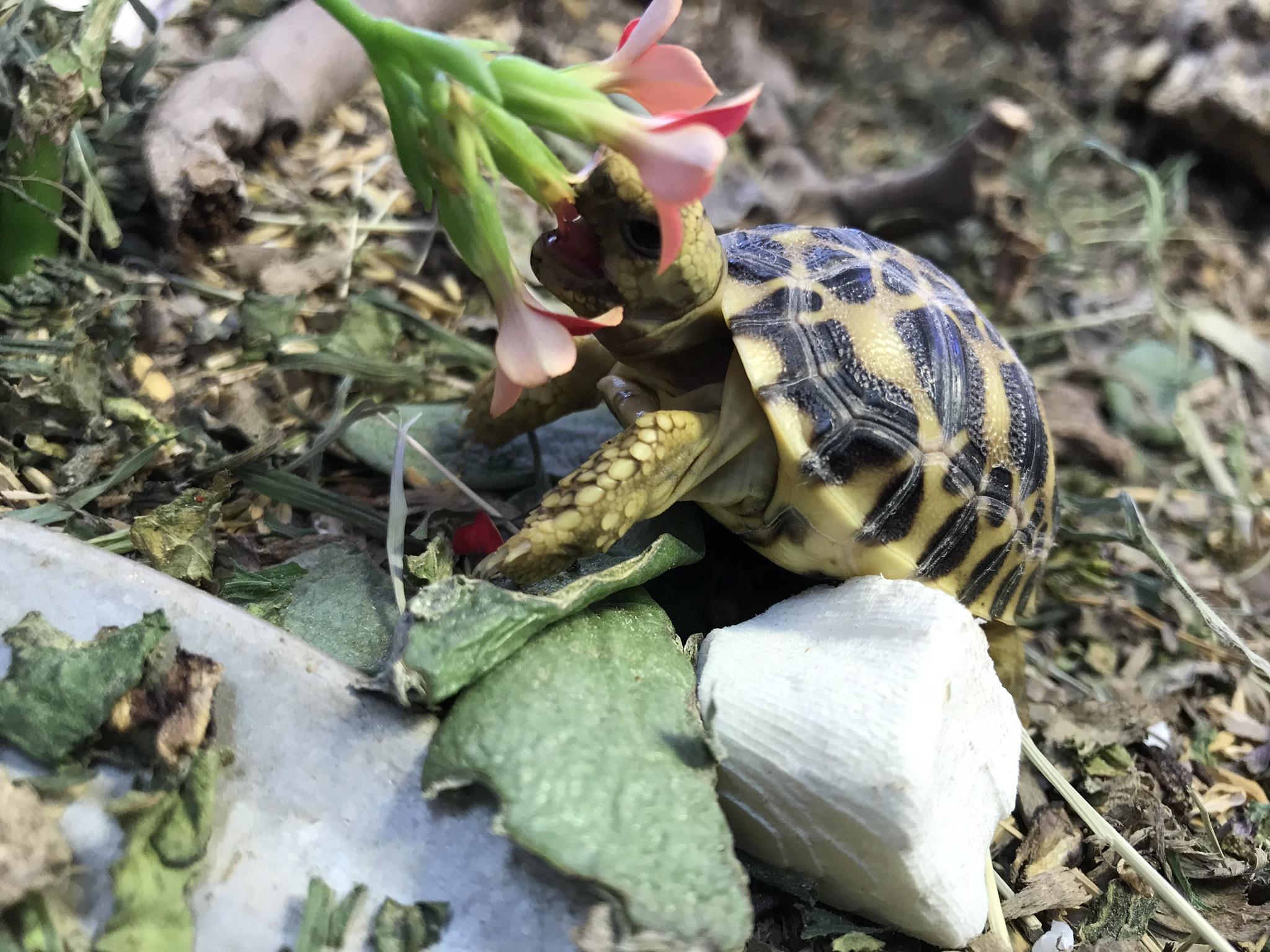 Burmese Star Tortoise ( Geochelone platynota )