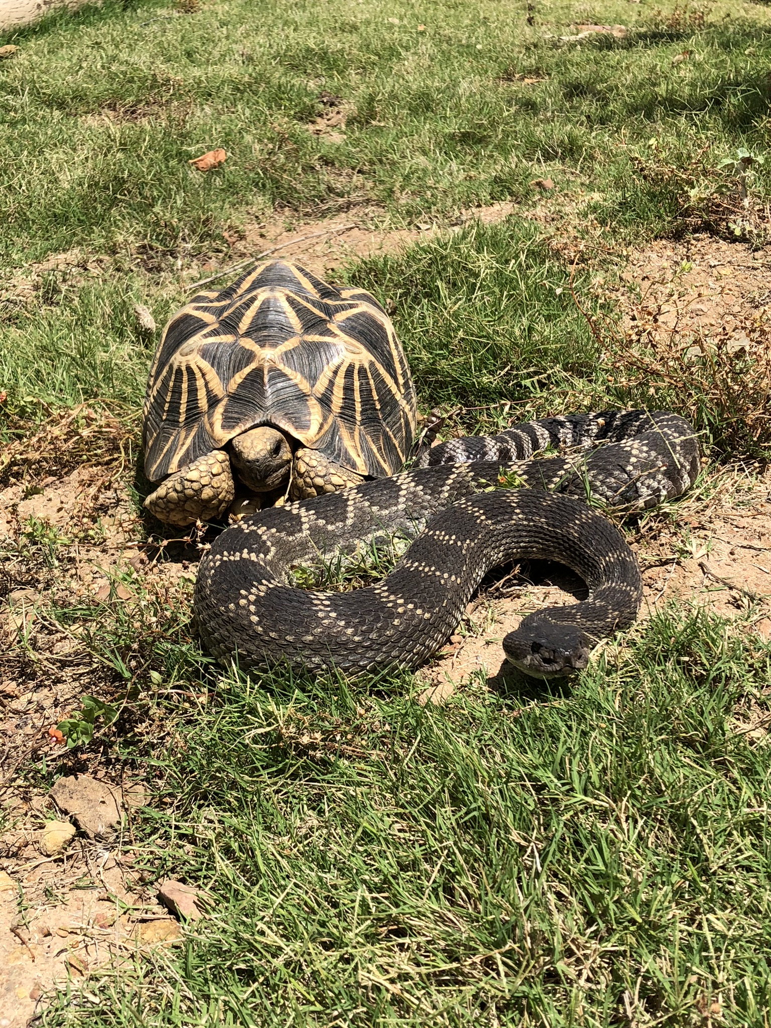 Surprise Visitor! A large Southern Pacific Rattle Snake drops in to hang with the Burmese Star Tortoises… She was safely relocated to the field behind the property.