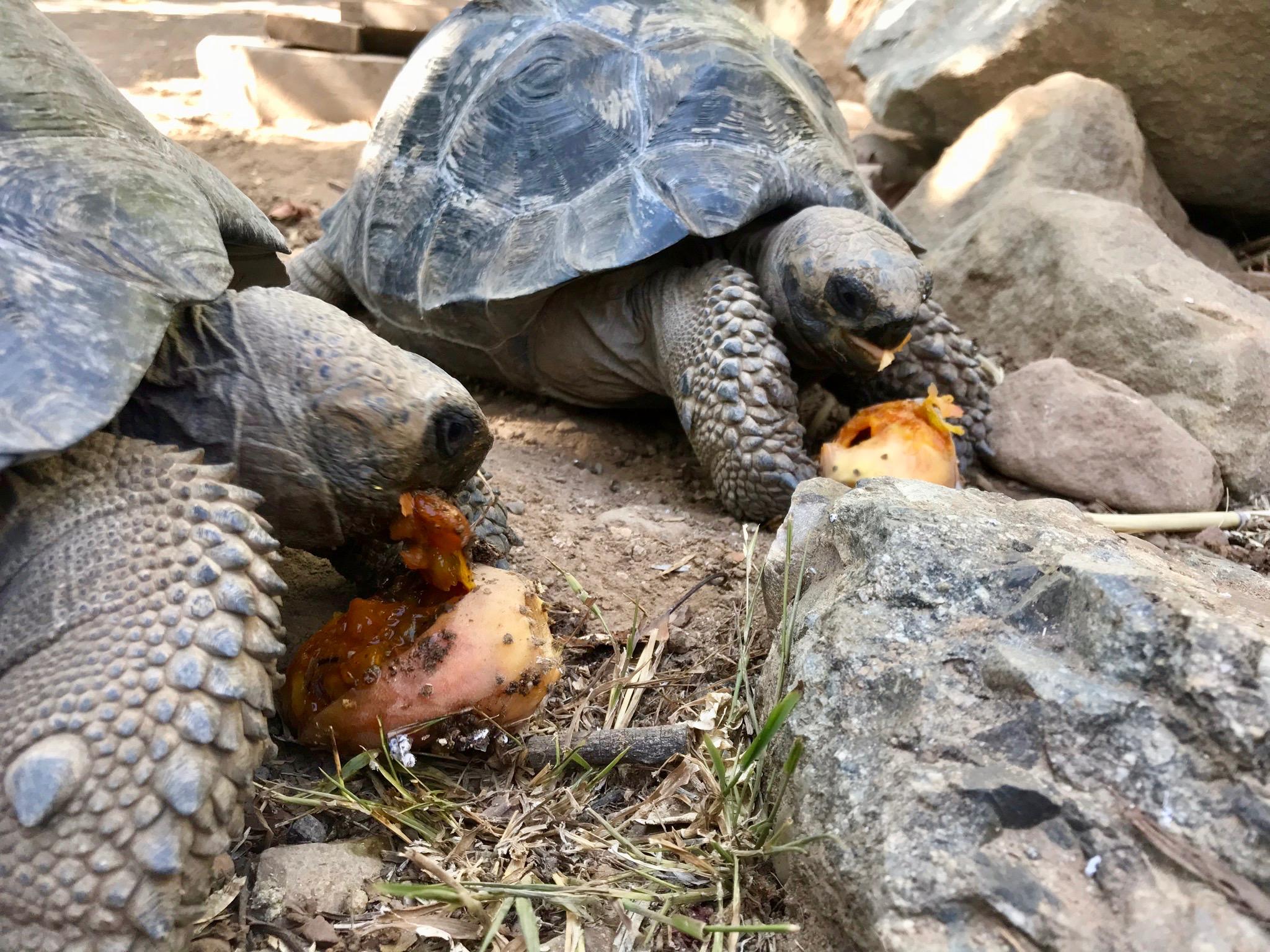 The Galapagos Tortoises are really enjoying the cactus fruiting season