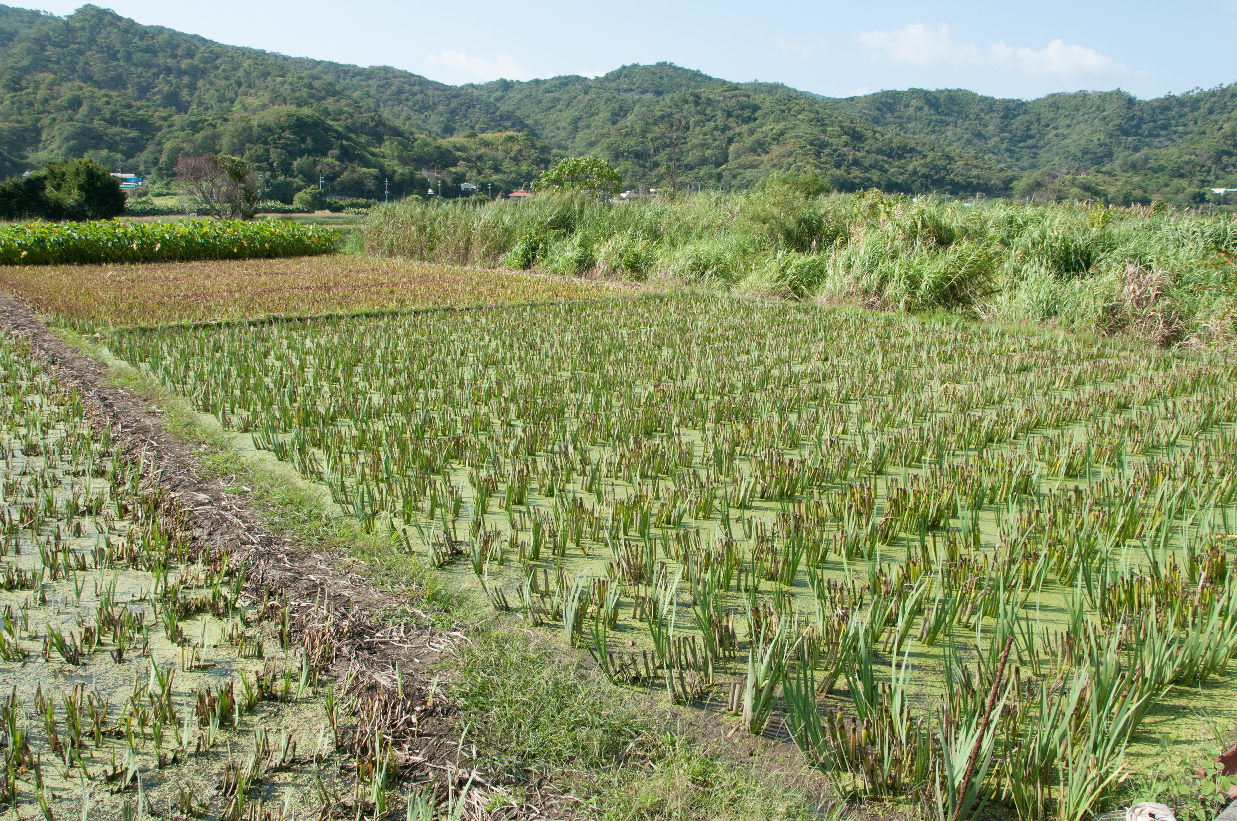 A good illustration of the habitat loss in Okinawa. Culture leads to destroying the jungle to make fields.