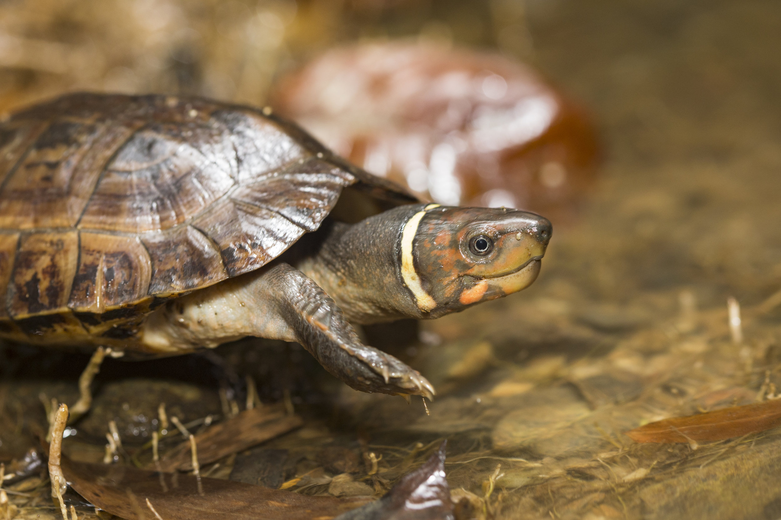 The Turtle Conservancy is working in partnership with the Katala Foundation and Dr. Sabine Schoppe to create a connected protected region in its native Palawan, Philippines.