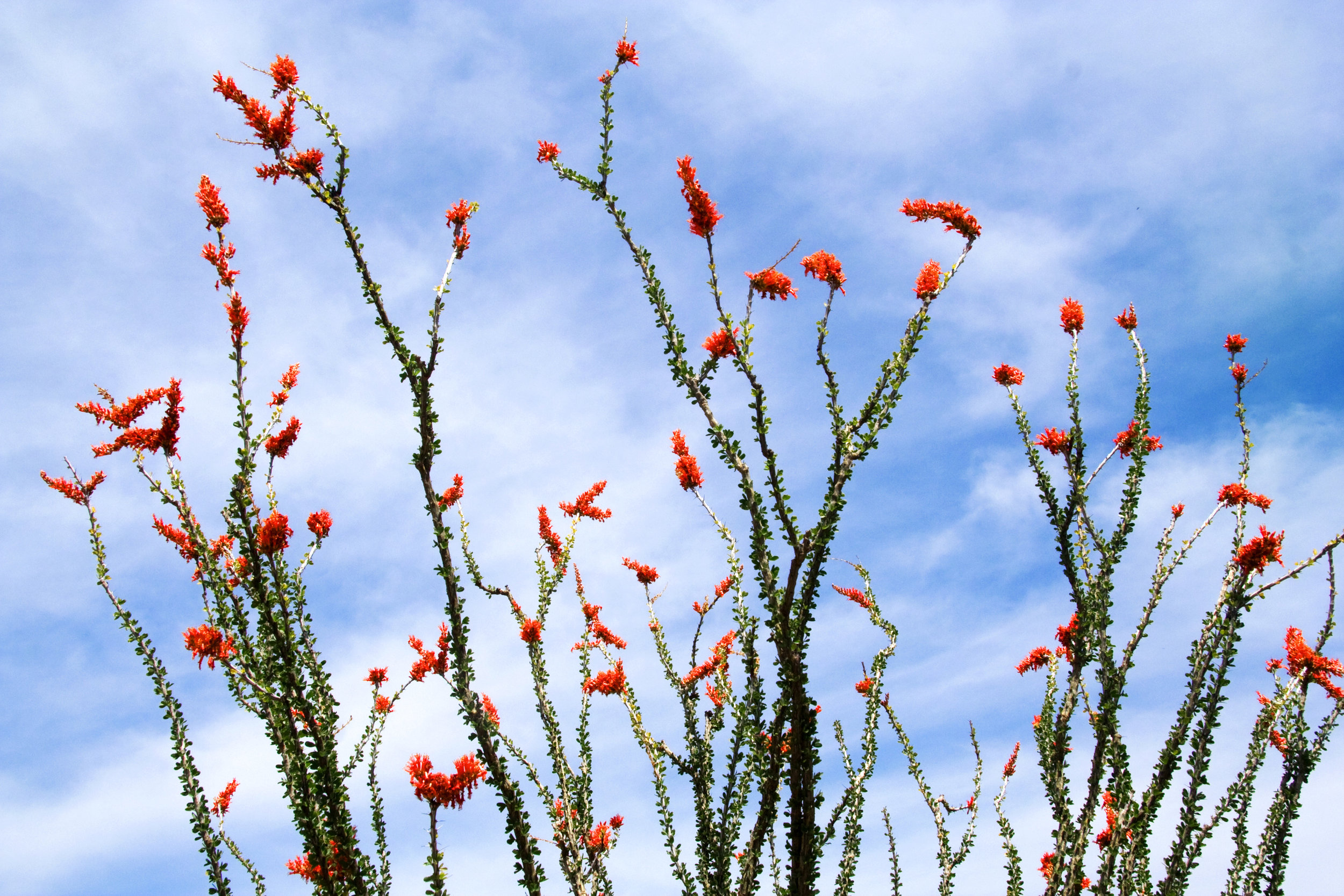 Fouquieria splendens.jpg
