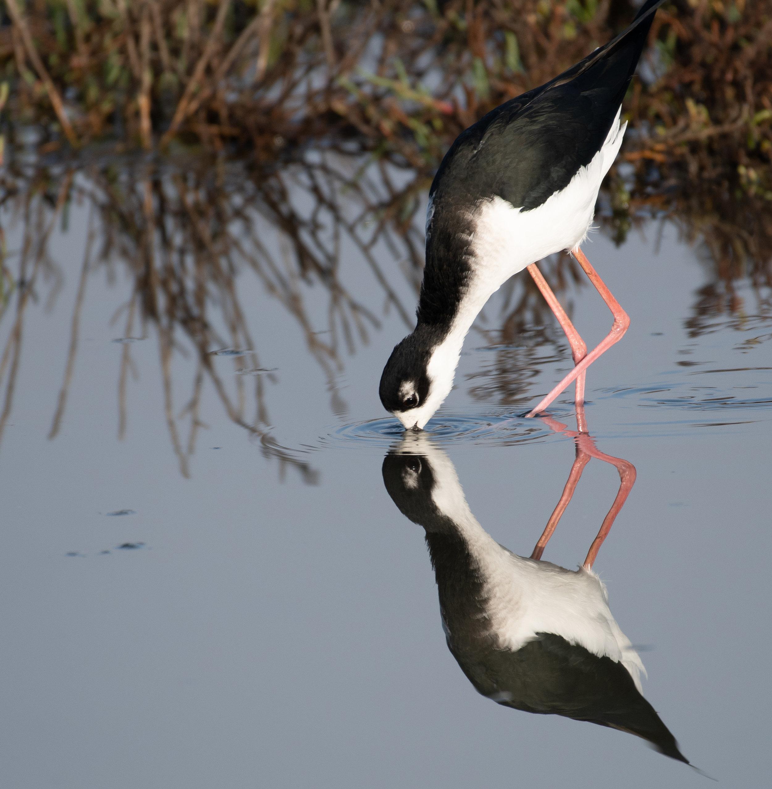 Black-necked Stilt, Himantopus mexicanus.jpg