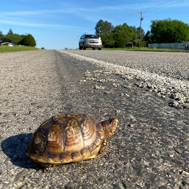 (??CW: animal death, 2nd pic) It's turtle season!! Please watch the roads as you venture back into the world, because turtles are too! They're traveling across roads that separate them from their nesting grounds, often females full of eggs to lay. Please help them across in the direction they were headed whenever it is safe for you to do so, and drive carefully with mama turtles in mind!! ???? These two box turtles in Texas had two very different outcomes because someone got there in time to help the first one ?? If you know a road where you often see turtles crossing or dead turtles in the road that doesn't yet have a Turtle Crossing sign, reach out to your local officials and ask them to put one up!! . . . . . . #turtles #turtleconservation #turtleconservancy #turtle #animals #wildlife