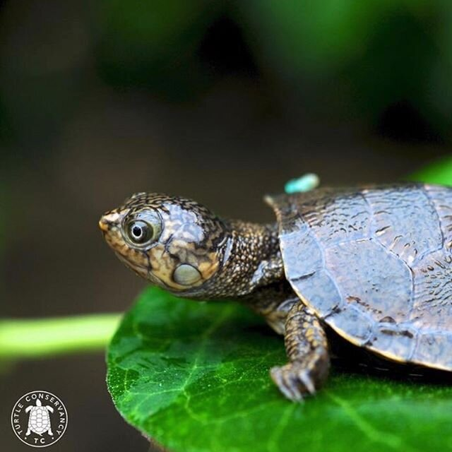 This little cutie tho!? ???? He's a newly-hatched Madagascan big-headed turtle (Erymnochelys madagascariensis) one of the most endangered turtles in the world. . . . . #turtle #turtles #turtlesofinstagram #turtleconservancy #turtleconservation #madagascar #Madagascanbigheadedturtle #Erymnochelysmadagascariensis #wildlife #conservation #wildlifeconservation ?