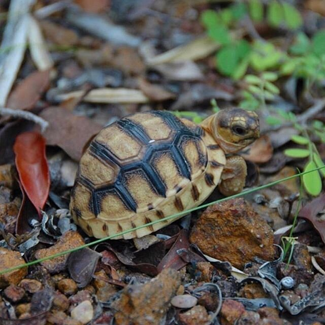 Here's your daily dose of baby tortoise bliss! ??? You're welcome. Let this tiny, critically endangered Ploughshare Tortoise (Astrochelys yniphora) hatchling inspire you to keep on pushing, just like they are! . . . #turtleconservancy #saveturtles #madagascar #turtlesintrouble #wildlifeconservation #conservation #turtles #tortoises #animals #reptiles #ploughsharetortoises