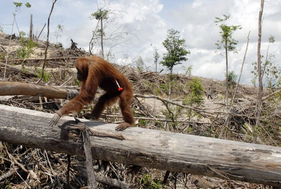 Habitat loss is the largest threat to orangutan populations, and in little as 10 years, orangutans may be extinct in the wild. -