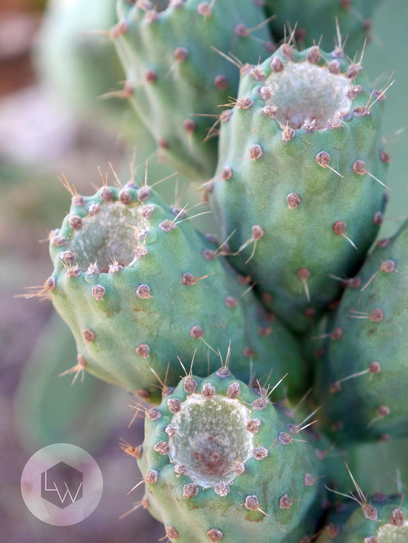 Prickly Pear Mildura