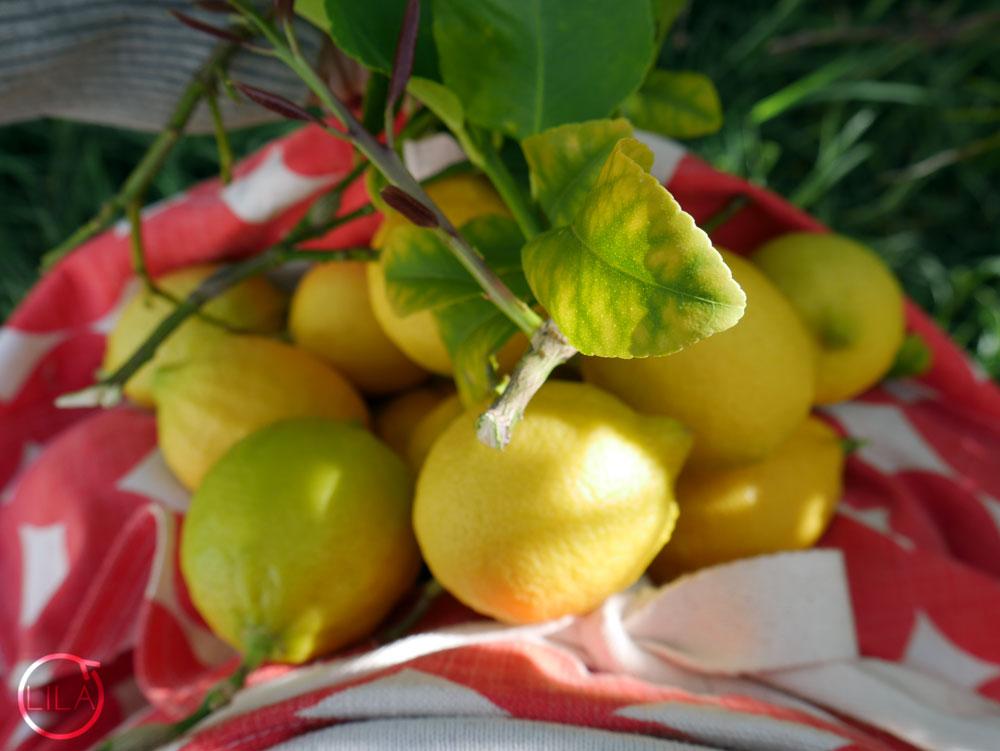 Gathering lemons in my apron