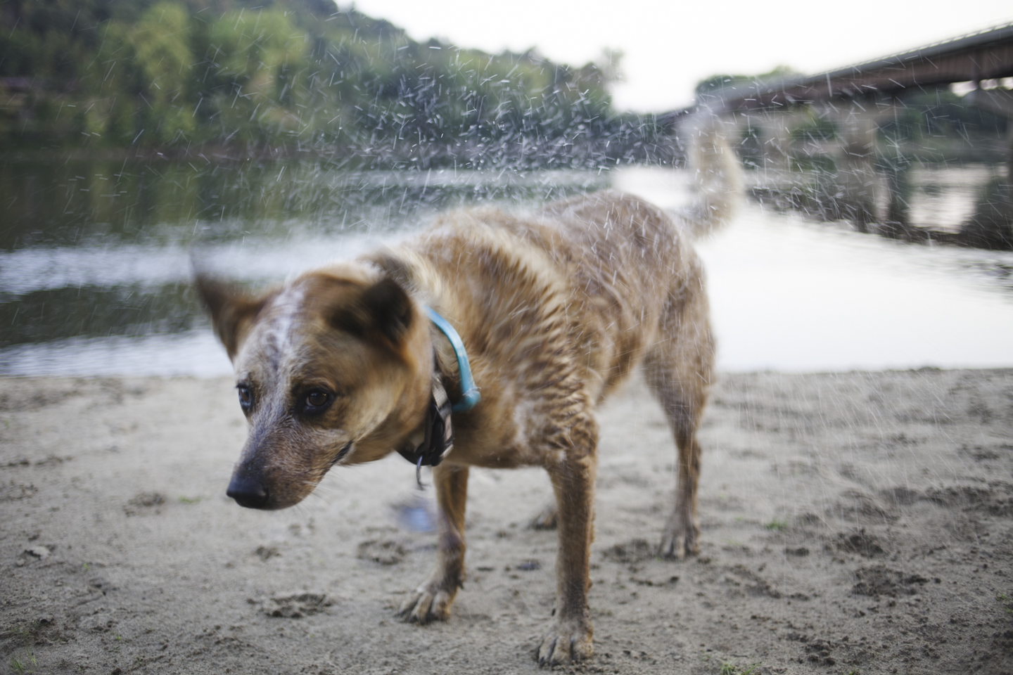 An 11-year-old Red Heeler named Birdie shakes off after a dip in the Wisconsin River. The beach beneath Highway 23 is a popular park, especially great for a dog with arthritis who needs low-impact exercise like swimming.
