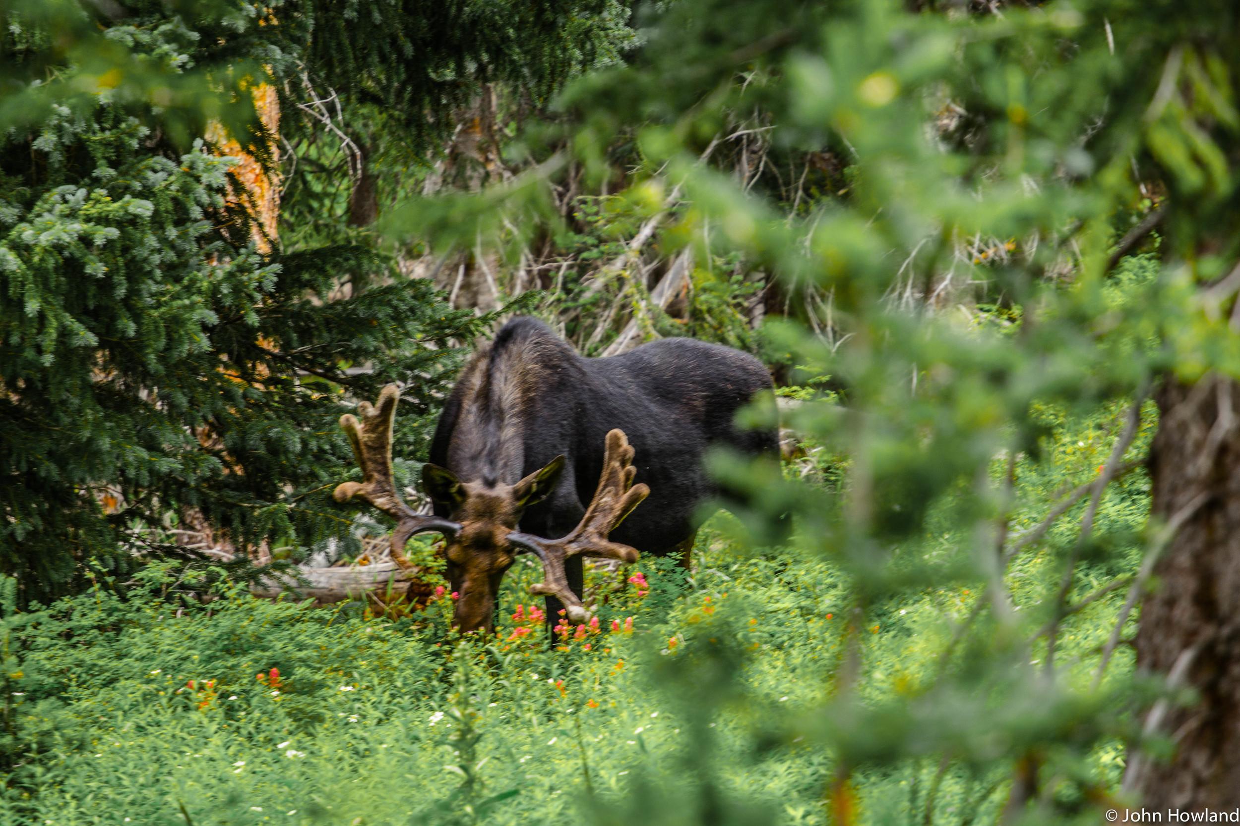 moose2 (1 of 1).jpg