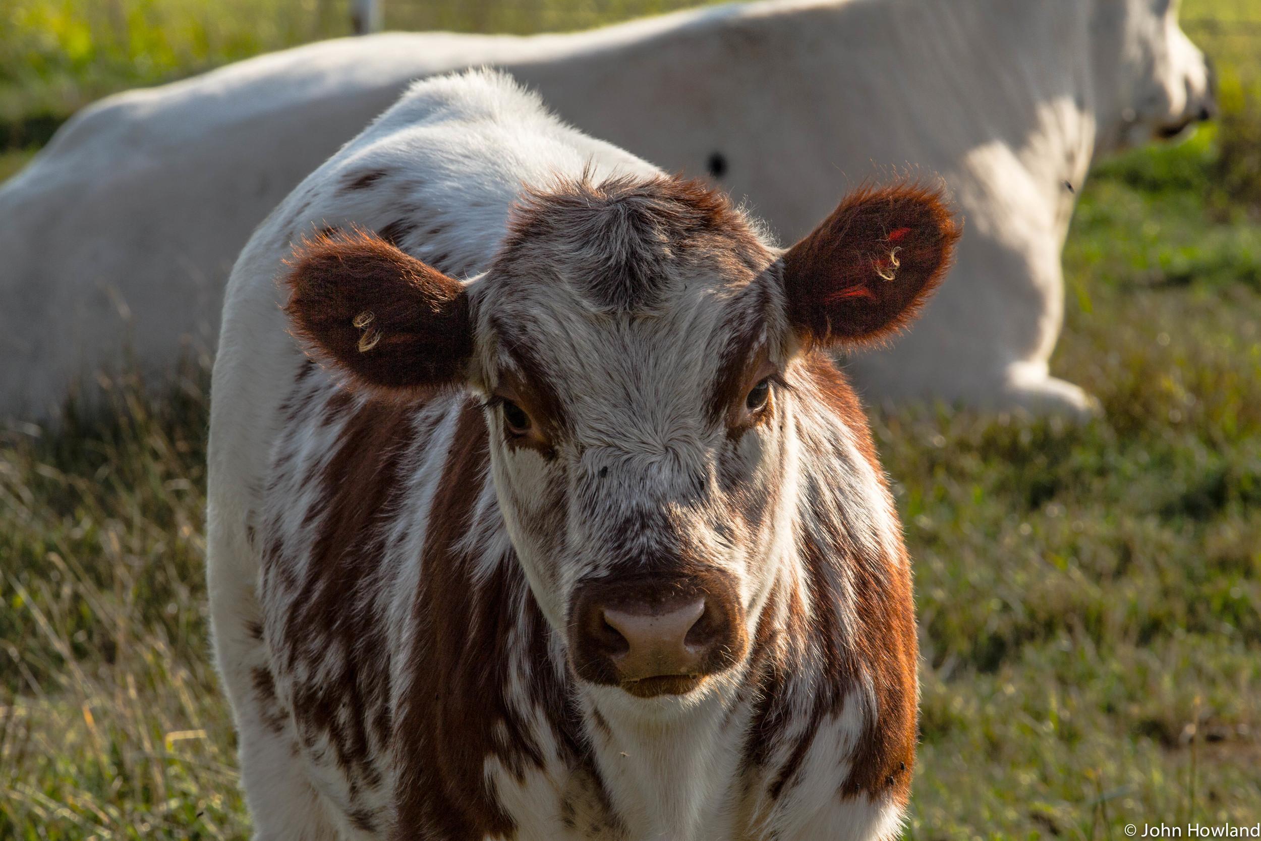 cow (1 of 1).jpg