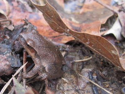 Spring peepers, the first of the frogs to begin calling, signal spring